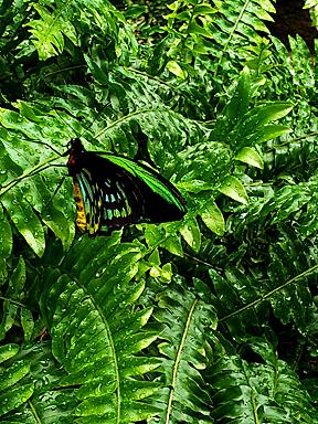 fern-butterfly-1